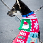 small dog in christmas sweater looks to the left